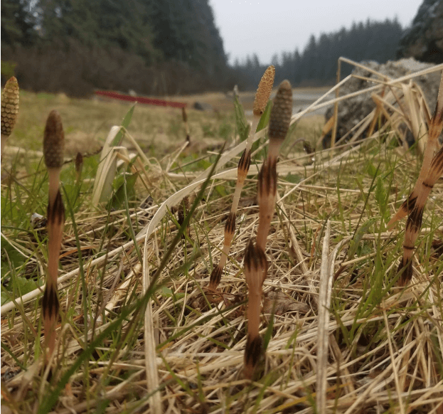 Young Horsetail
