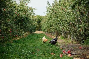 chickens eating apples on the ground of an orchard