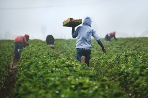 farmworker carrying box of produce in a field with other workers